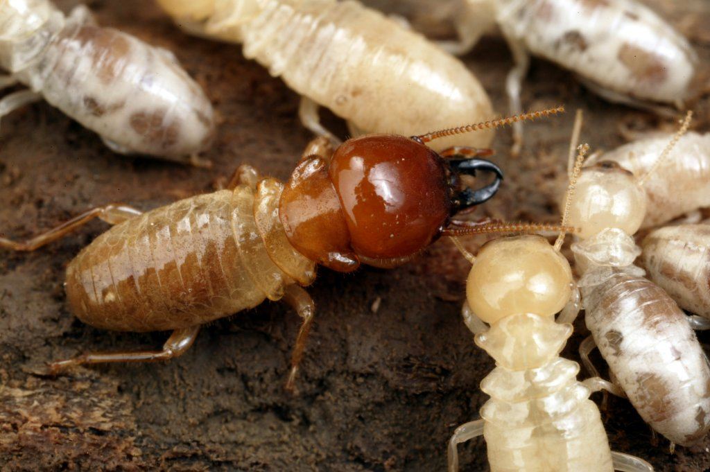 trusted-pest_termite-gathering